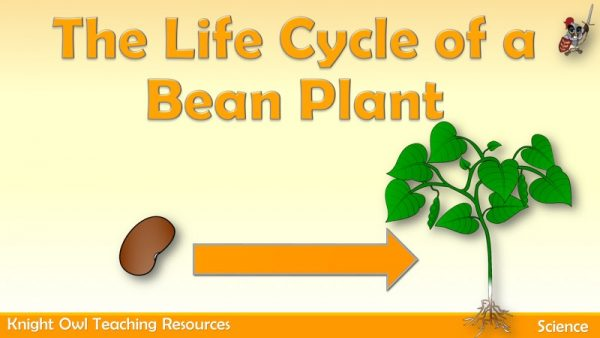 The Life Cycle of a Bean Plant 1