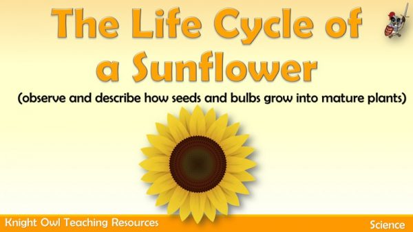 The Life Cycle of a Sunflower 1