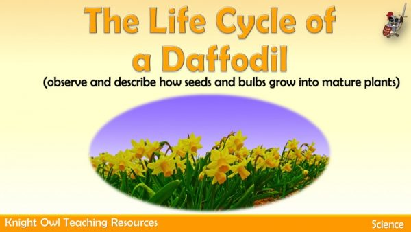the Life Cycle of a Daffodil 1